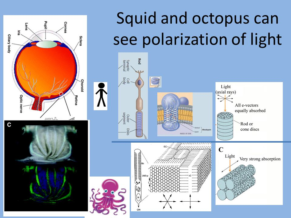Squid and octopus can see polarization of light