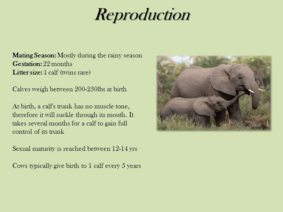 Reproduction Mating Season: Mostly during the rainy season Gestation: 22 months Litter size: 1 calf (twins rare)