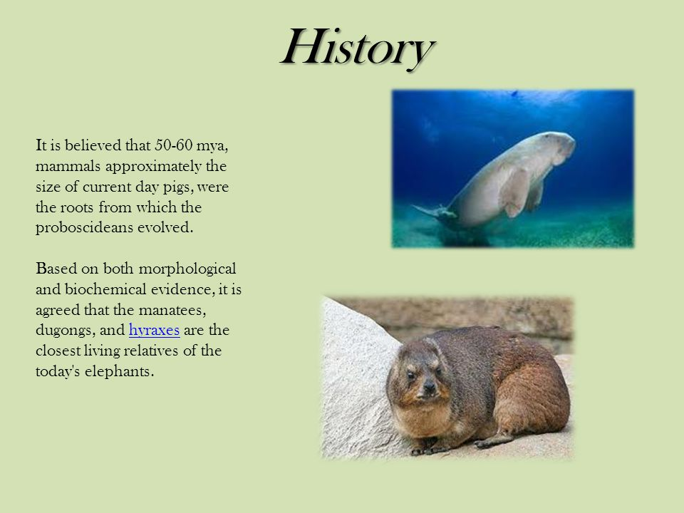History It is believed that 50-60 mya, mammals approximately the size of current day pigs, were the roots from which the proboscideans evolved.