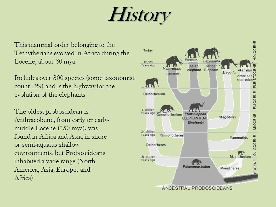 History This mammal order belonging to the Tethytherians evolved in Africa during the Eocene, about 60 mya.