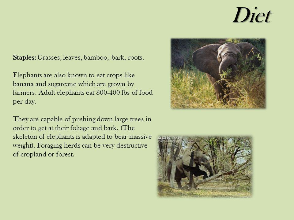 Diet Staples: Grasses, leaves, bamboo, bark, roots.