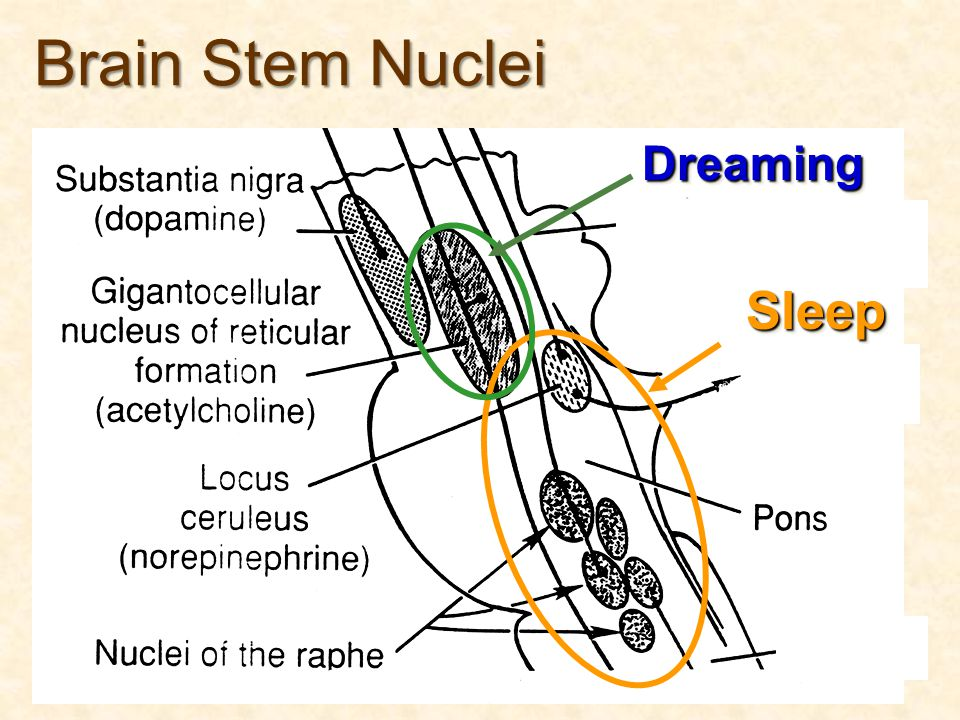 Brain Stem Nuclei Dreaming Sleep