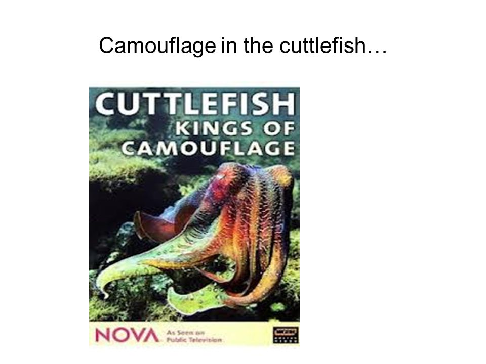 Camouflage in the cuttlefish…