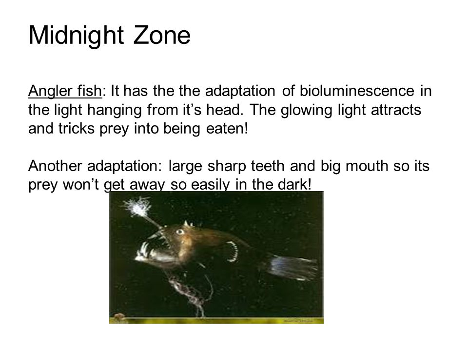 Midnight Zone Angler fish: It has the the adaptation of bioluminescence in the light hanging from it's head.