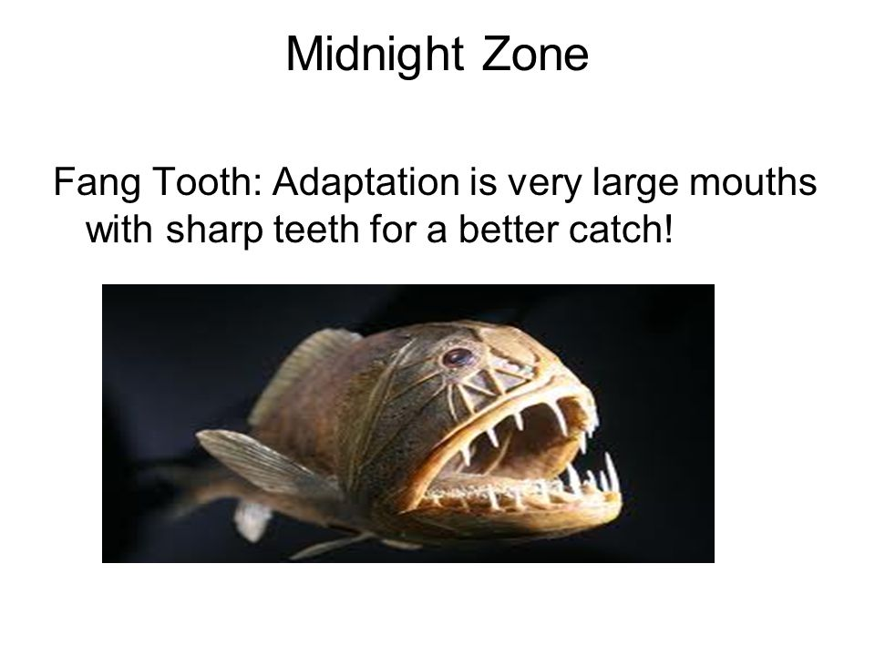 Midnight Zone Fang Tooth: Adaptation is very large mouths with sharp teeth for a better catch!