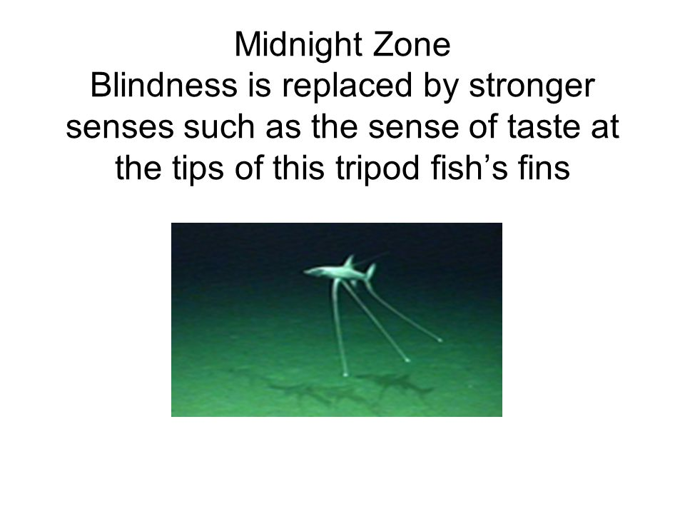 Midnight Zone Blindness is replaced by stronger senses such as the sense of taste at the tips of this tripod fish's fins
