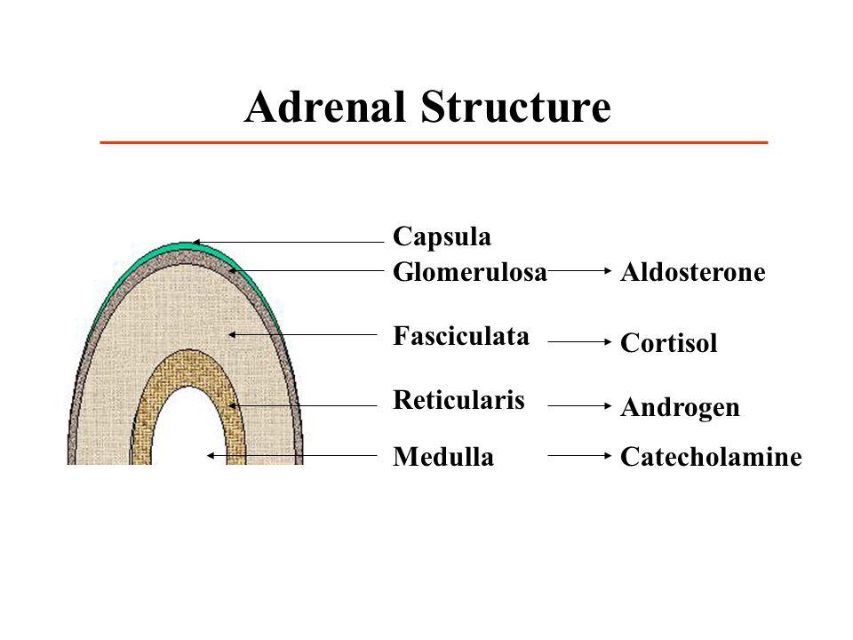 Adrenal Structure Capsula Glomerulosa Aldosterone Fasciculata Cortisol