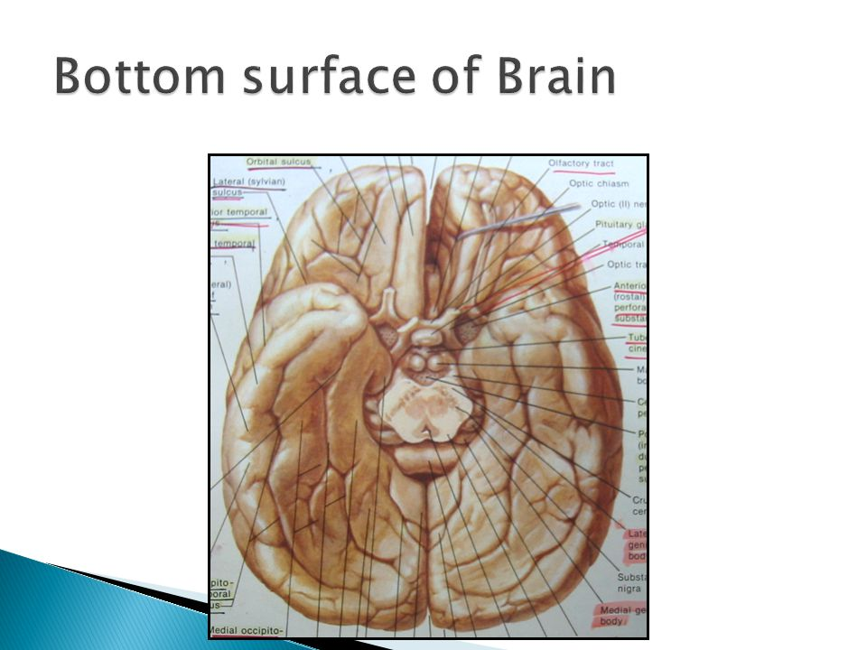 Bottom surface of Brain