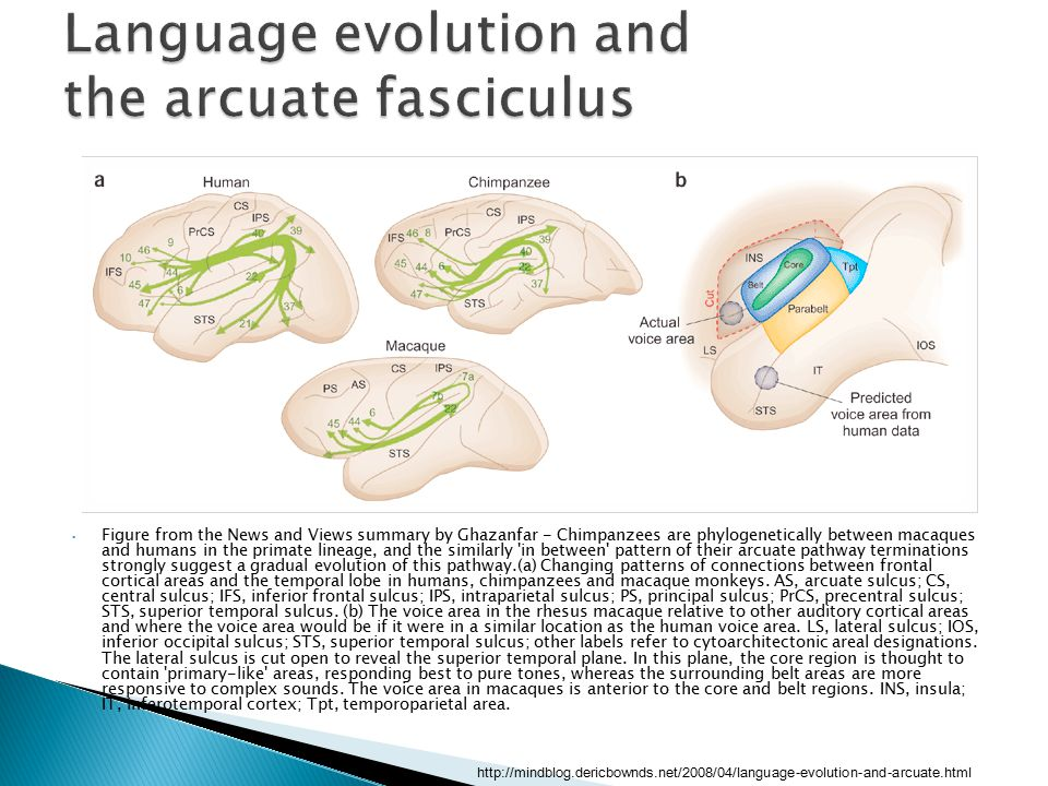Language evolution and the arcuate fasciculus