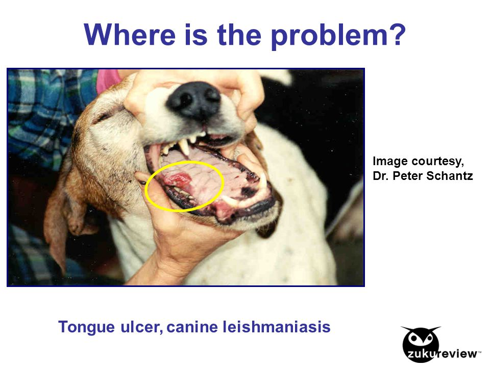 Where is the problem Tongue ulcer, canine leishmaniasis