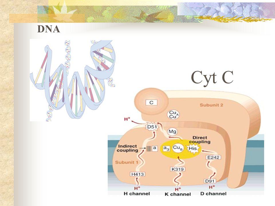 DNA Cyt C