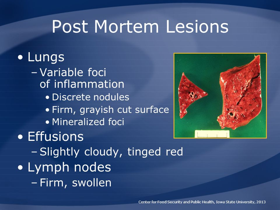 Post Mortem Lesions Lungs Effusions Lymph nodes