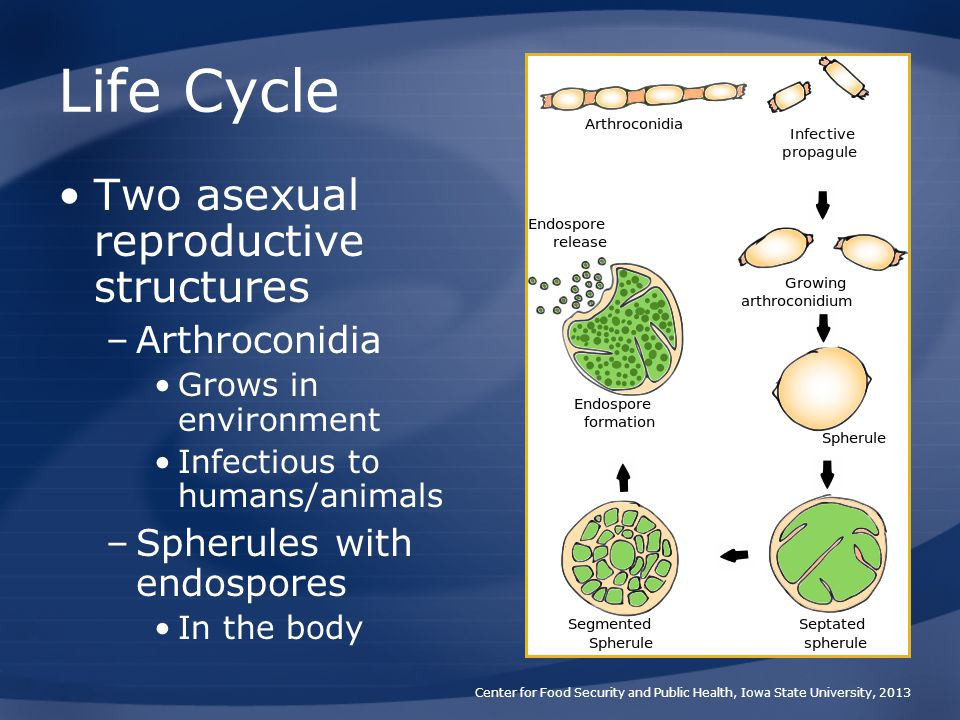 Life Cycle Two asexual reproductive structures Arthroconidia