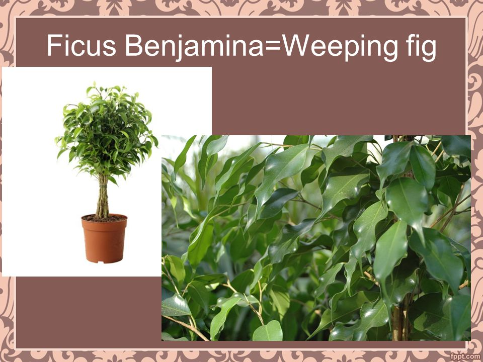 Ficus Benjamina=Weeping fig