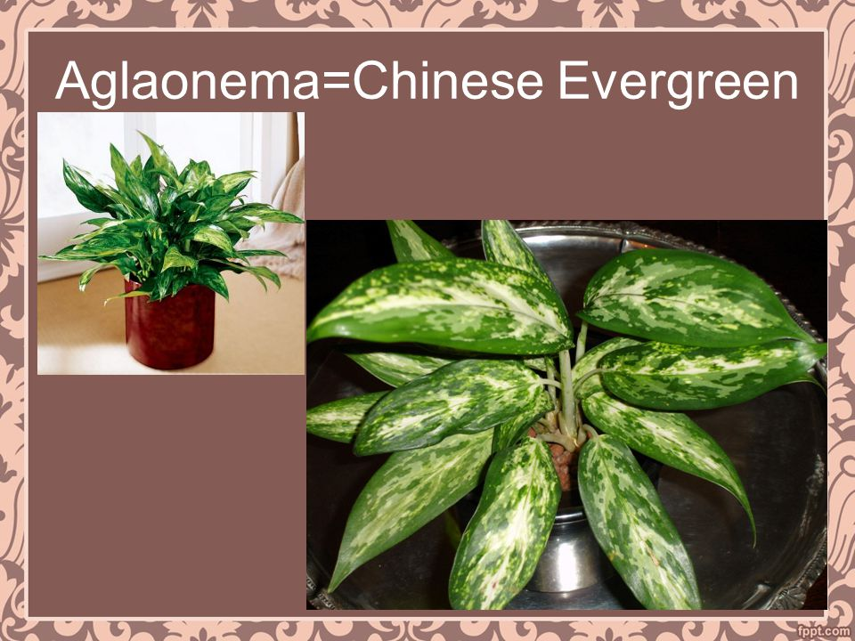 Aglaonema=Chinese Evergreen