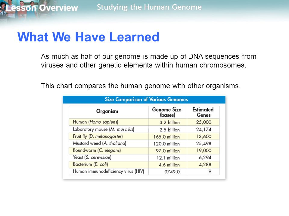 What We Have Learned As much as half of our genome is made up of DNA sequences from viruses and other genetic elements within human chromosomes.