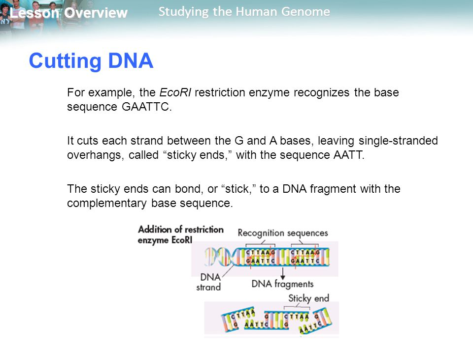 Cutting DNA For example, the EcoRI restriction enzyme recognizes the base sequence GAATTC.