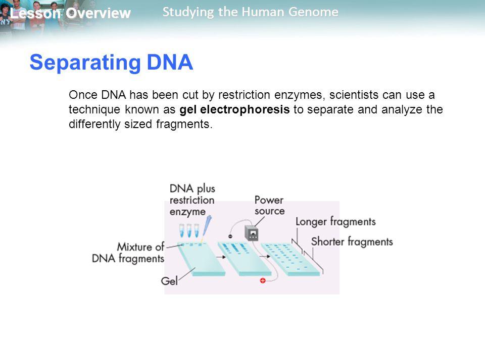 Separating DNA