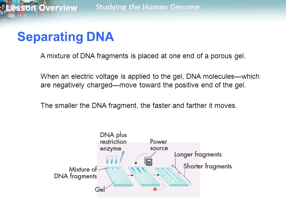 Separating DNA A mixture of DNA fragments is placed at one end of a porous gel.