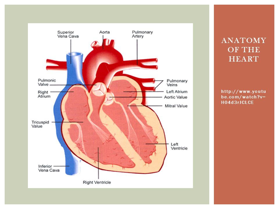 Anatomy of the heart http://www.youtube.com/watch v=H04d3rJCLCE