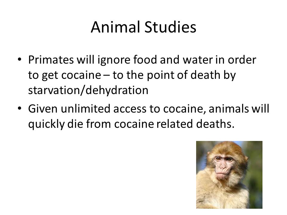 Animal Studies Primates will ignore food and water in order to get cocaine – to the point of death by starvation/dehydration.