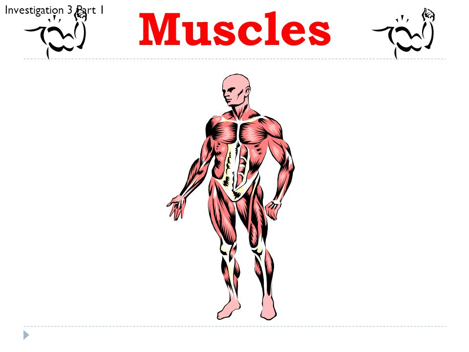 Muscles Investigation 3 Part 1