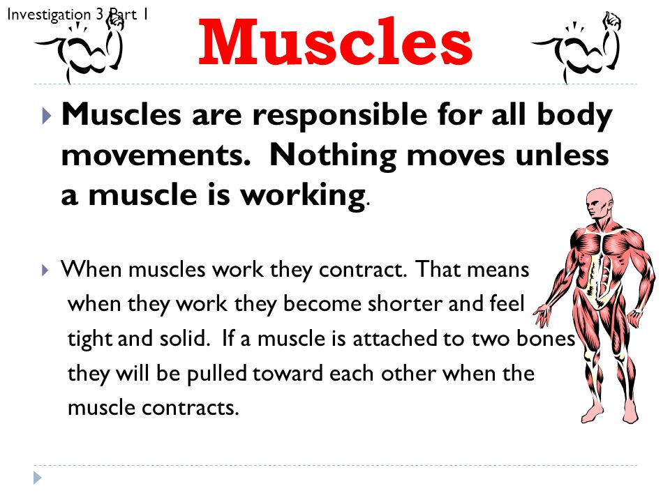 Investigation 3 Part 1 Muscles. Muscles are responsible for all body movements. Nothing moves unless a muscle is working.