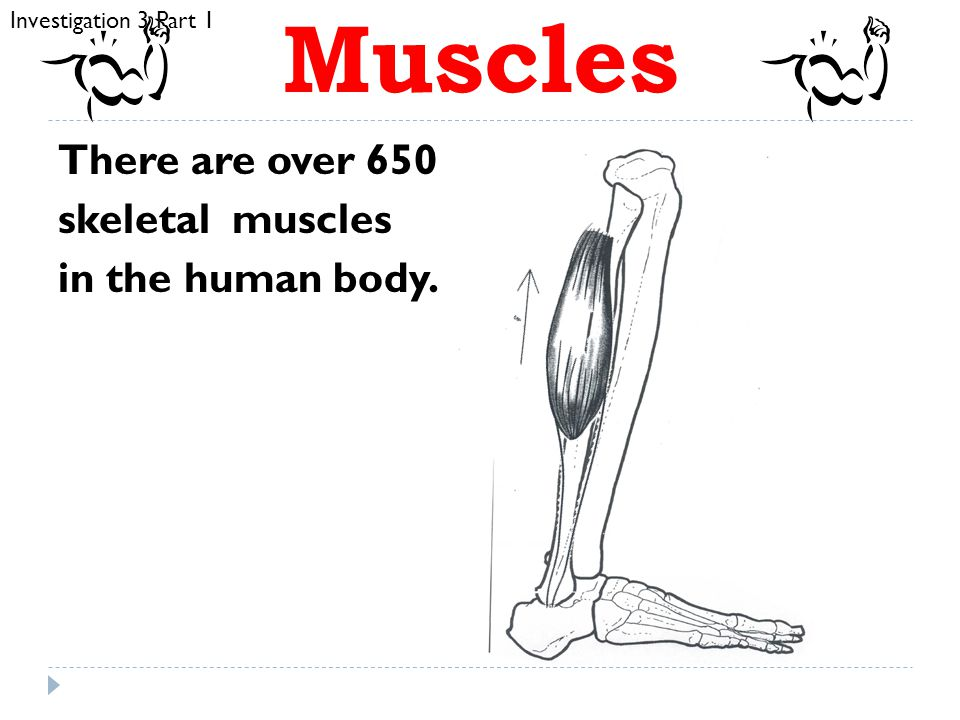 Muscles There are over 650 skeletal muscles in the human body.