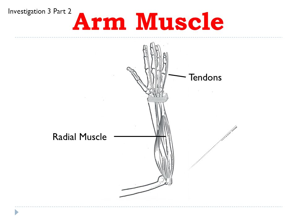 Investigation 3 Part 2 Arm Muscle Tendons Radial Muscle
