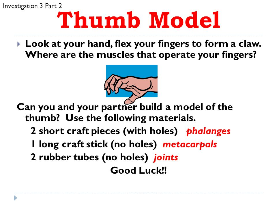 Investigation 3 Part 2 Thumb Model. Look at your hand, flex your fingers to form a claw. Where are the muscles that operate your fingers