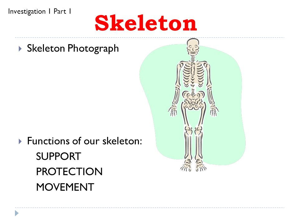 Skeleton Skeleton Photograph Functions of our skeleton: SUPPORT