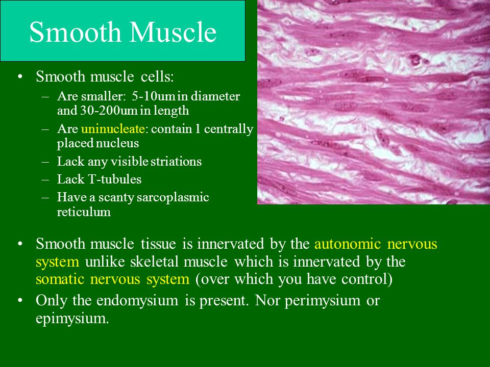 Smooth Muscle Smooth muscle cells:
