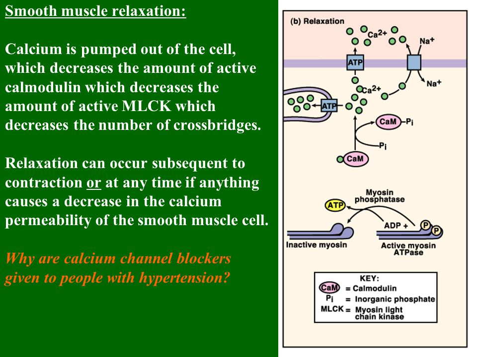 Smooth muscle relaxation: Calcium is pumped out of the cell, which decreases the amount of active calmodulin which decreases the amount of active MLCK which decreases the number of crossbridges.