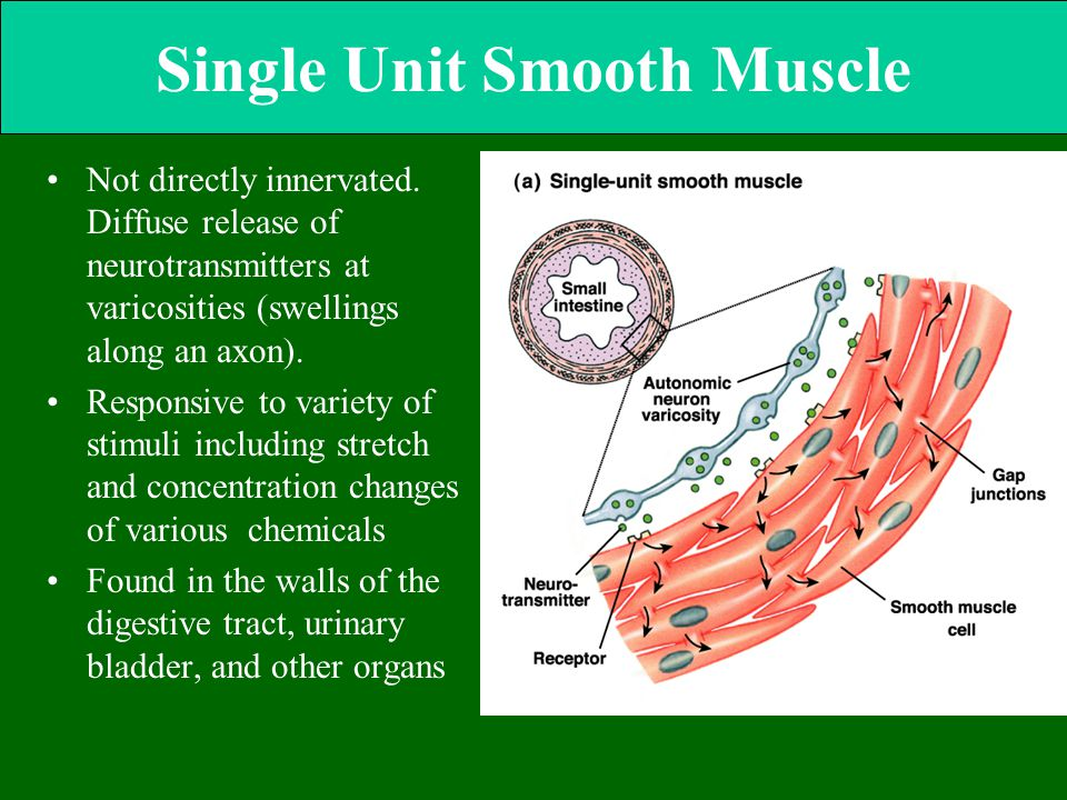 Single Unit Smooth Muscle