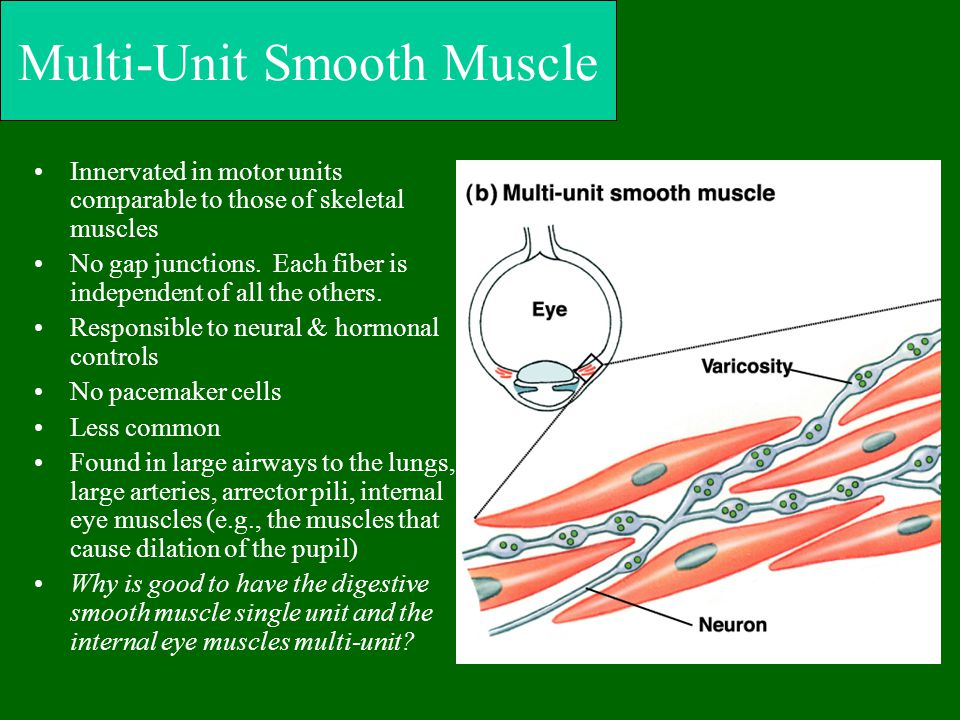Multi-Unit Smooth Muscle