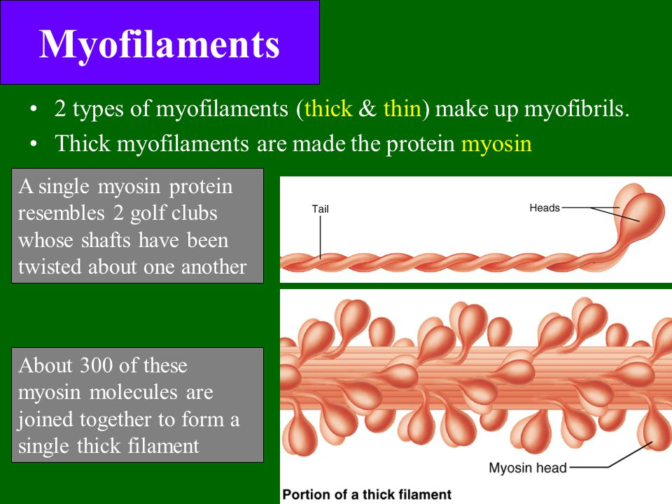 relationship between myofibrils and myofilaments images