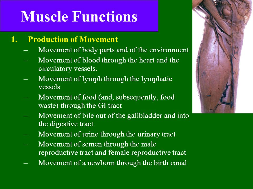 Muscle Functions Production of Movement