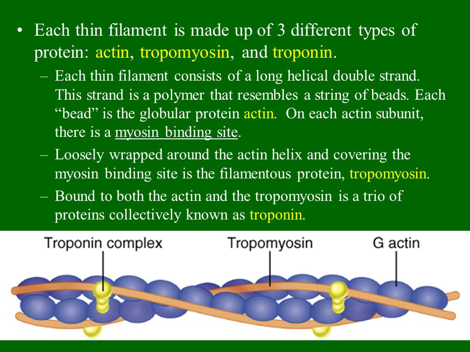 Each thin filament is made up of 3 different types of protein: actin, tropomyosin, and troponin.