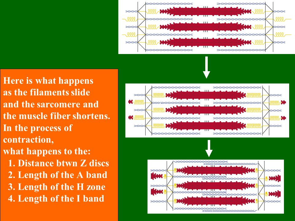 Here is what happens as the filaments slide and the sarcomere and the muscle fiber shortens.