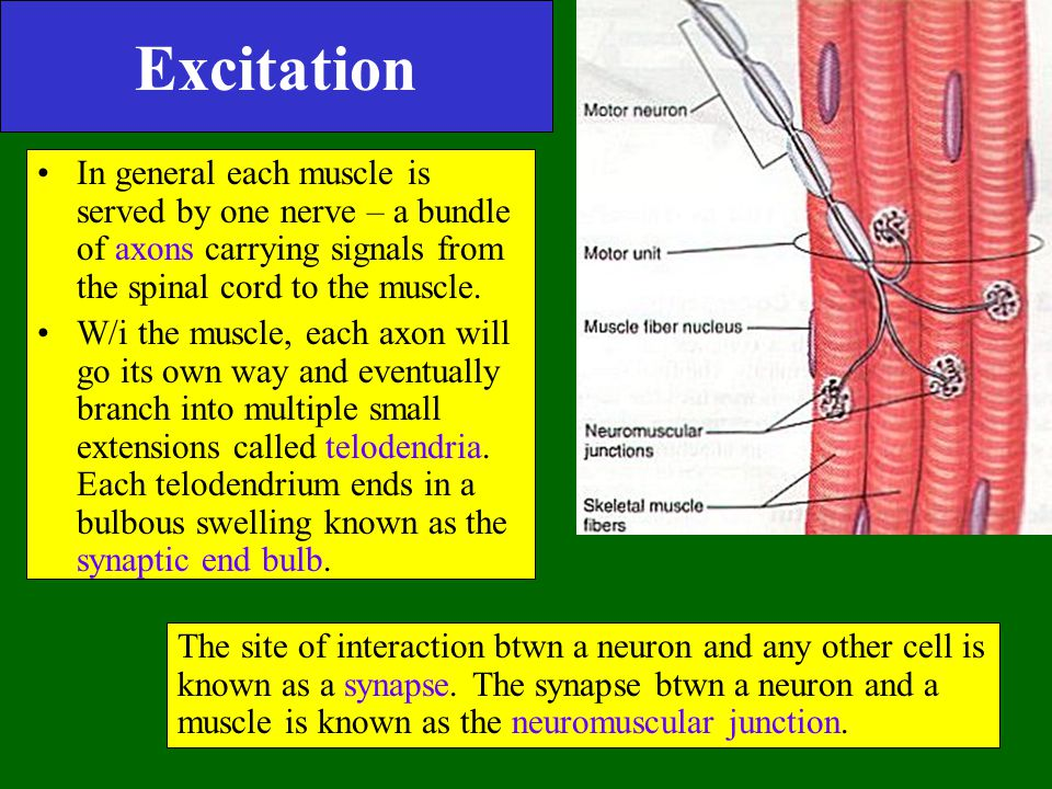 Excitation In general each muscle is served by one nerve – a bundle of axons carrying signals from the spinal cord to the muscle.