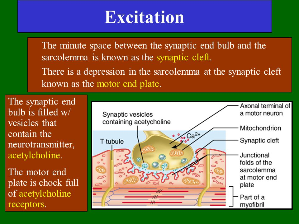 Excitation The minute space between the synaptic end bulb and the sarcolemma is known as the synaptic cleft.