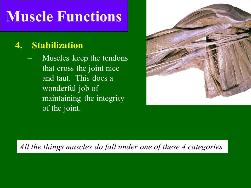 Muscle Functions Stabilization of joints