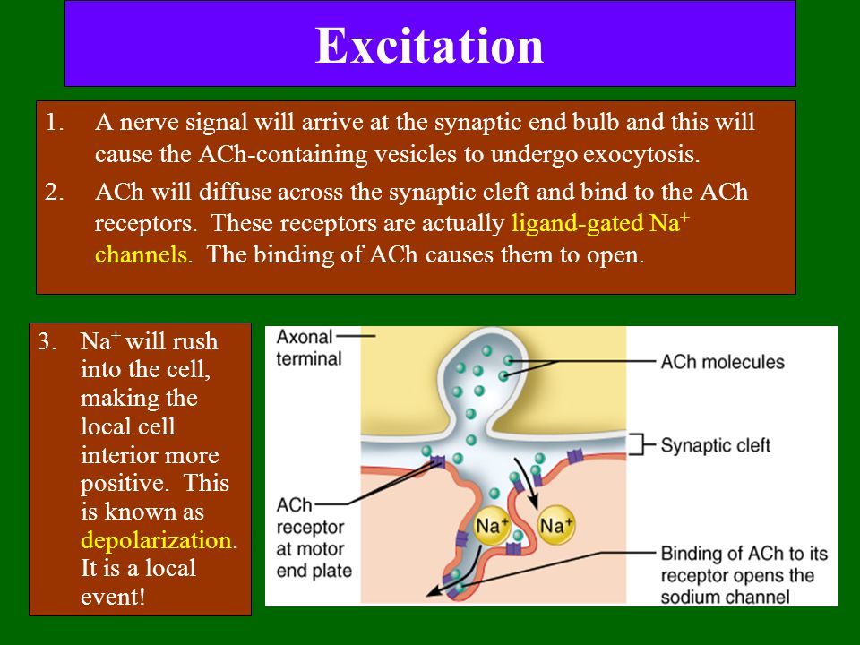 Excitation A nerve signal will arrive at the synaptic end bulb and this will cause the ACh-containing vesicles to undergo exocytosis.