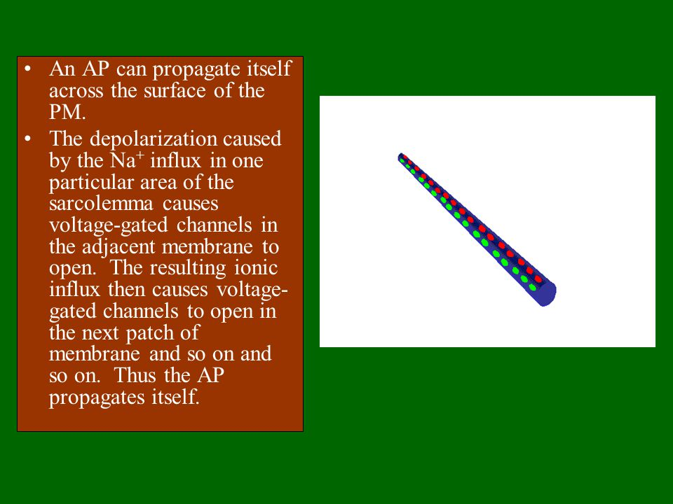 An AP can propagate itself across the surface of the PM.