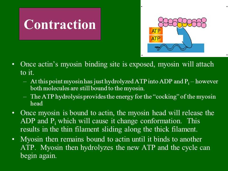 Contraction Once actin's myosin binding site is exposed, myosin will attach to it.