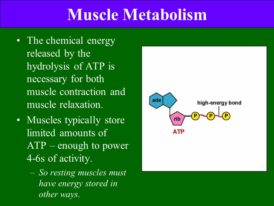 Muscle Metabolism The chemical energy released by the hydrolysis of ATP is necessary for both muscle contraction and muscle relaxation.