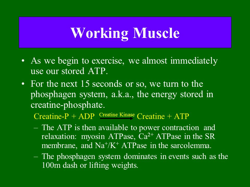 Working Muscle As we begin to exercise, we almost immediately use our stored ATP.