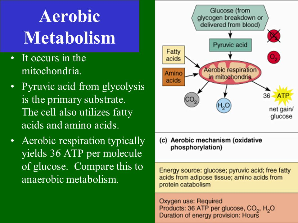 Aerobic Metabolism It occurs in the mitochondria.