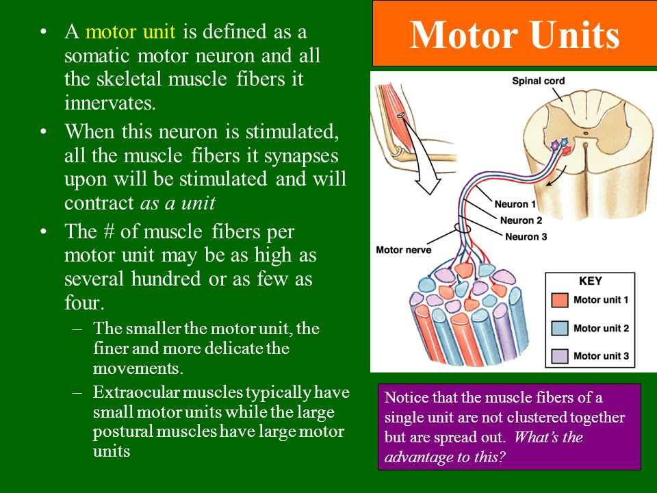 Motor Units A motor unit is defined as a somatic motor neuron and all the skeletal muscle fibers it innervates.