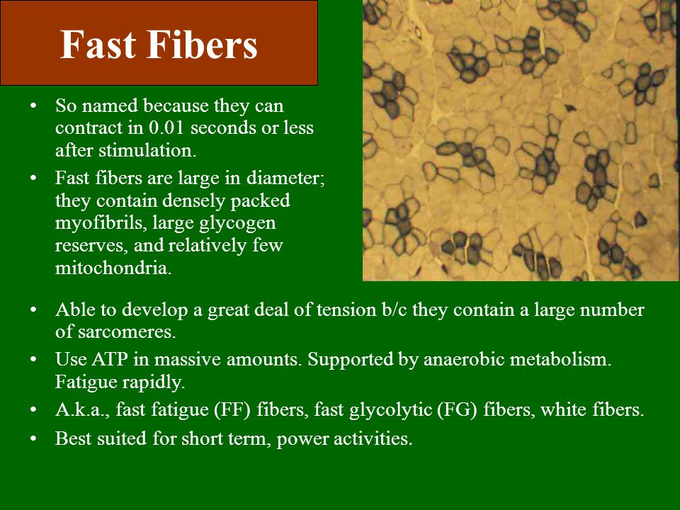 Fast Fibers So named because they can contract in 0.01 seconds or less after stimulation.